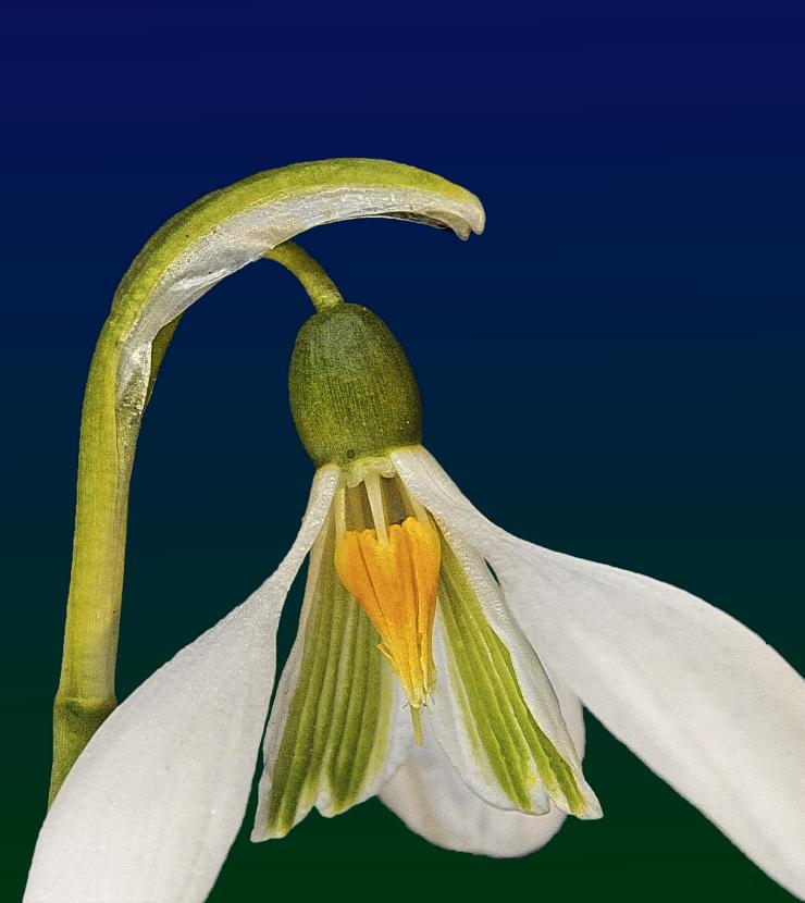 galanthus.niv.1