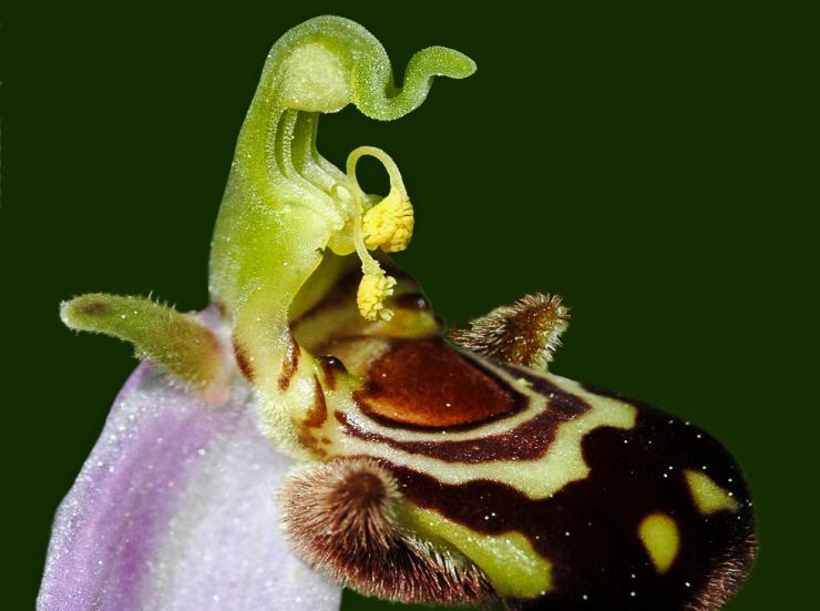 ophrys.api.fera