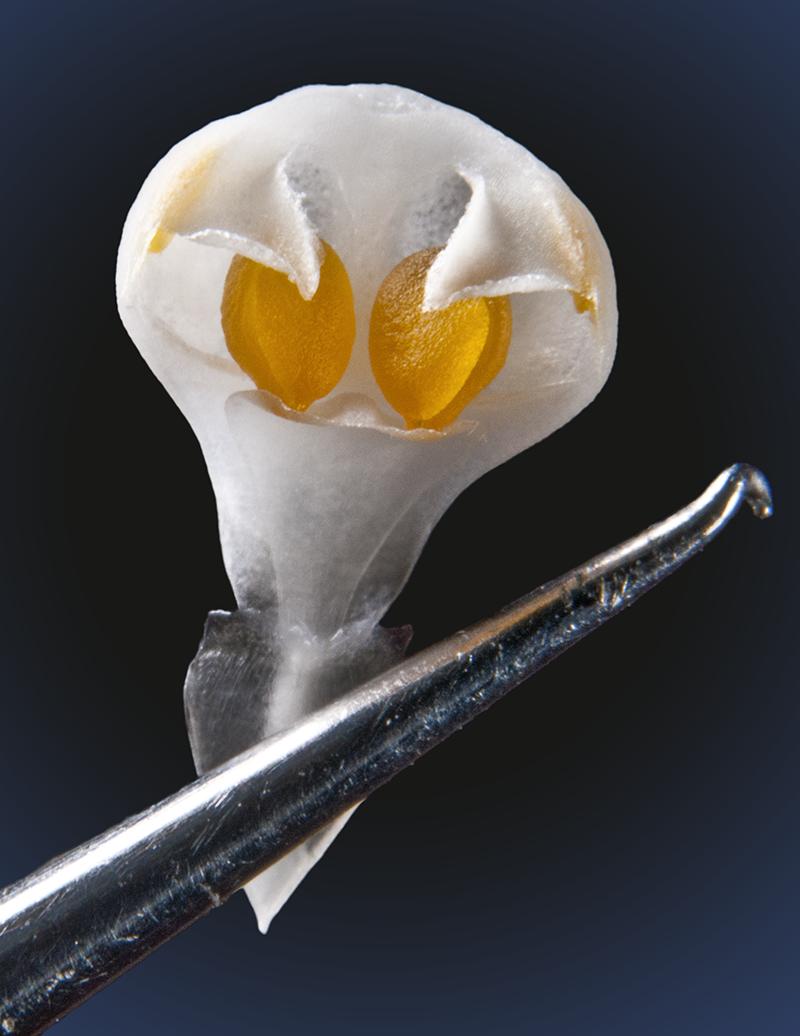 phalaenopsis.1