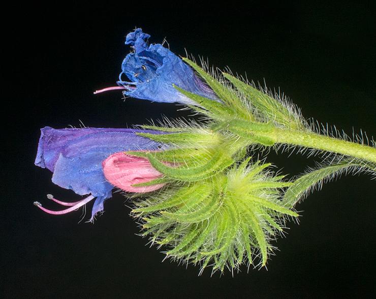echium.plantagineum