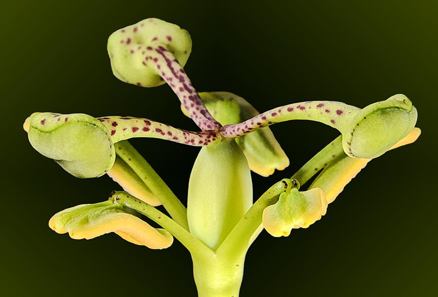 passiflora.x.ana.1