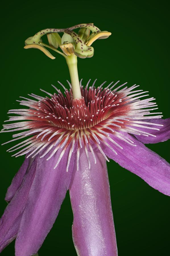 passiflora.x.ana.2